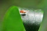 Mogu li voćne mušice biti uzgajane za otkrivanje raka?