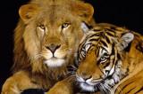 Bitke mačaka: lav protiv tigra