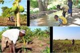 Somalijski poljoprivrednici, reforme Al-Šababa, i zabrana NVO.