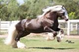 Ciganski Vanner Konj