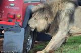 Kad lavovima dojade turisti