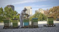 Istraživanje: Pčele se sele u gradove da bi preživele!