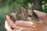 U Australiji potvrđeno izumiranje još 13 životinjskih vrsta