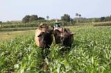 Kuba uvela 63 mere za povećanje proizvodnje hrane