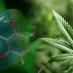 Modifikovani kvasac proizvodi THC