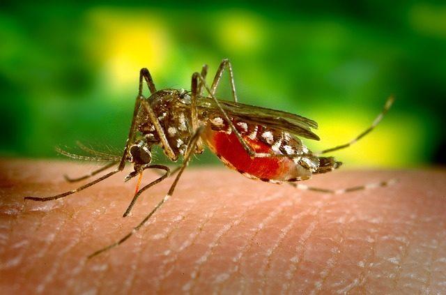 mosquito-542156_640