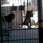 Lav ubio trenera divljih mačaka u Aleksandriji (VIDEO)
